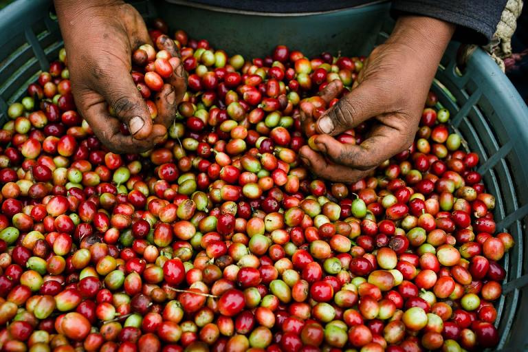 Coffee fruit freshly picked