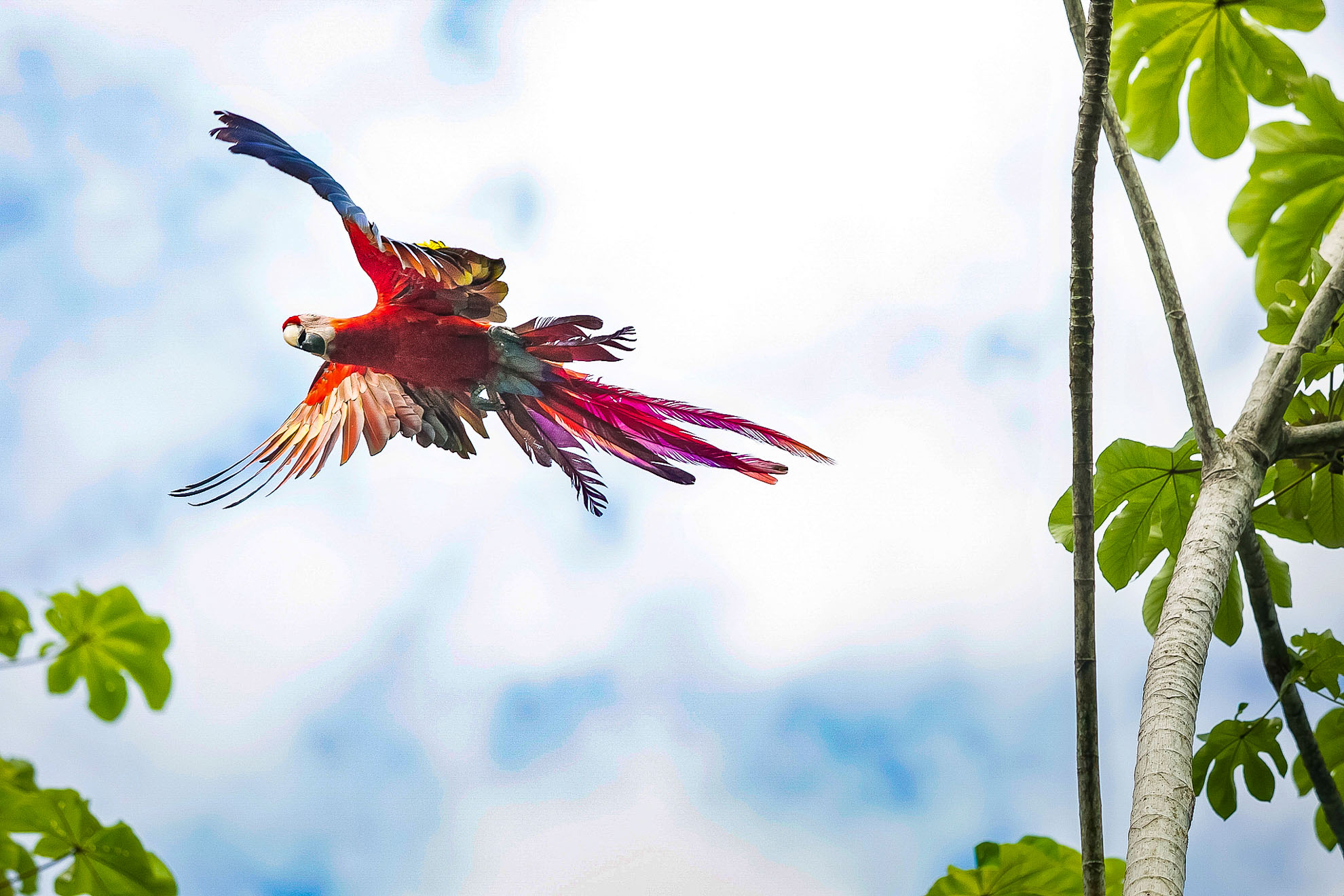 Gaia Scarlet Macaw Project