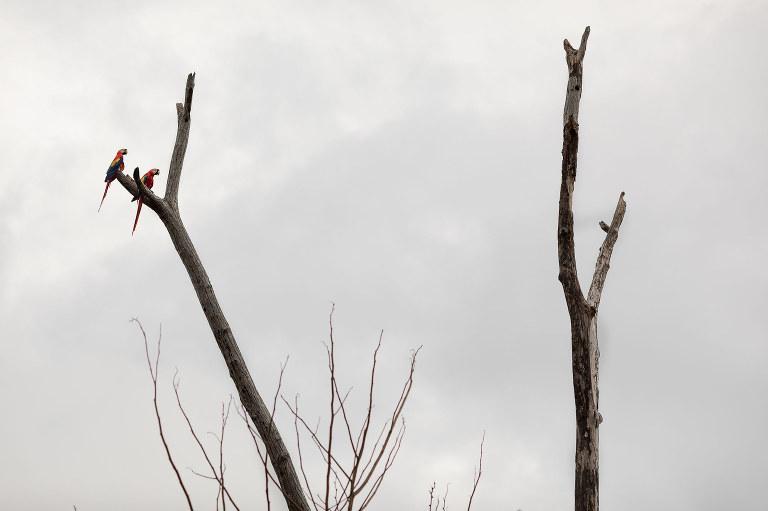 Sometimes at beach weddings in Manuel Antonio scarlet macaws appear